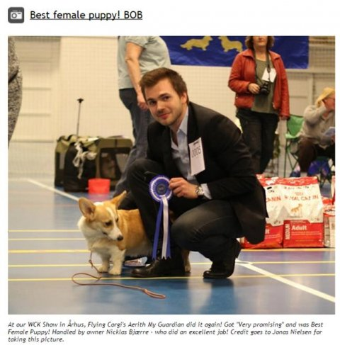 "At our WCK Show in Århus, Flying Corgi's Aerith My Guardian did it again! Got ""Very promising"" and was Best Female Puppy! Handled by owner Nicklas Bjærre - who did an excellent job! Credit goes to Jonas Nielsen for taking this picture."